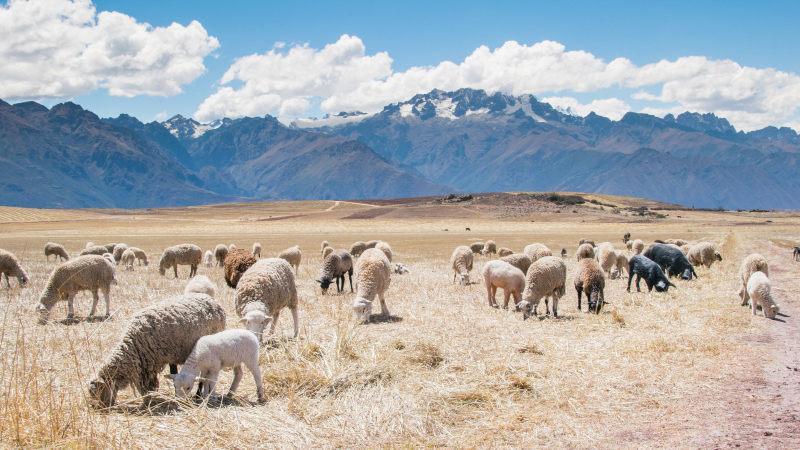 山坡上的山羊摄影图 高清背景图片 壁纸 大自然jpeg-(