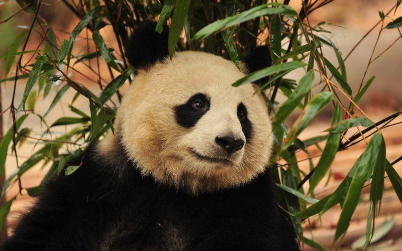竹叶下的熊猫高清背景动物摄影图