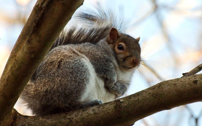 树枝上的松鼠 高清动物背景摄影图 壁纸