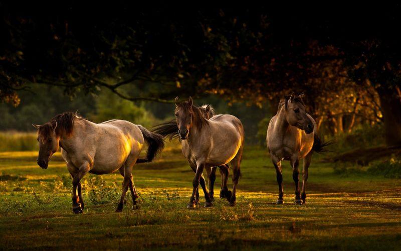 草地上的三匹马 高清动物背景摄影图 壁纸