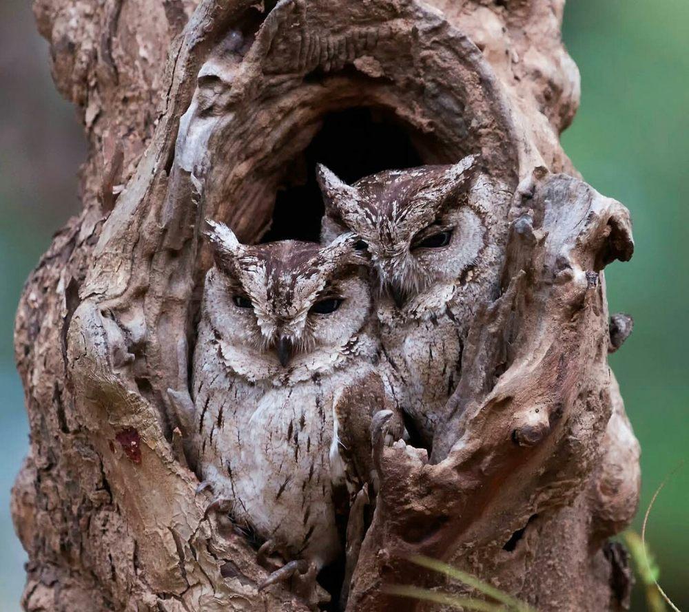 树洞中的猫头鹰 高清动物背景摄影图 壁纸
