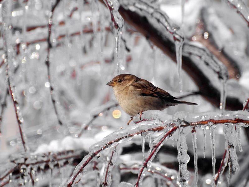 冰枝上的麻雀 高清动物背景摄影图 壁纸