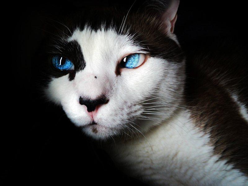 黑白双色猫 高清动物背景摄影图 壁纸